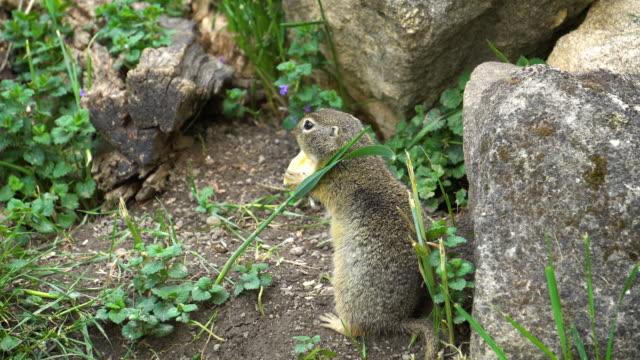 european ground squirrel - chipmunk stock videos & royalty-free footage