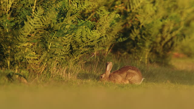 european hare grazing on the green grass in the field in united kingdom on a windy day - timelapse - herbivorous stock videos & royalty-free footage