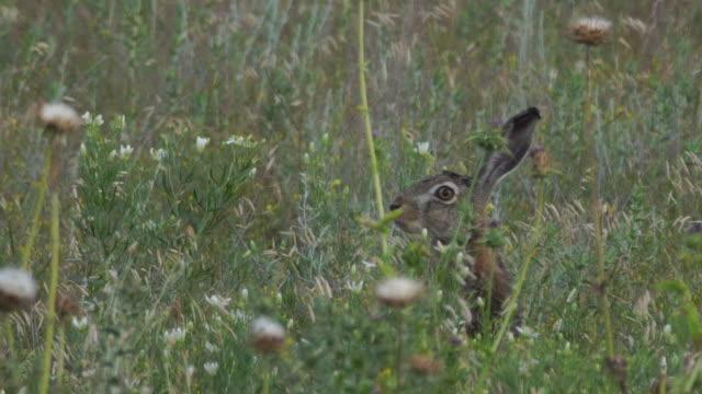 vídeos y material grabado en eventos de stock de liebre europea (lepus europaeus) - protección de fauna salvaje