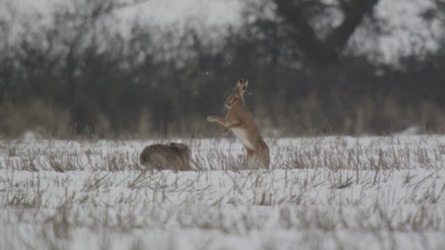 european hares (lepus europaeus) chase and box on snow, essex, england - slåss bildbanksvideor och videomaterial från bakom kulisserna