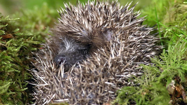 European Hedgehog, erinaceus europaeus, Adult Curled Up, Normandy in France, Real Time