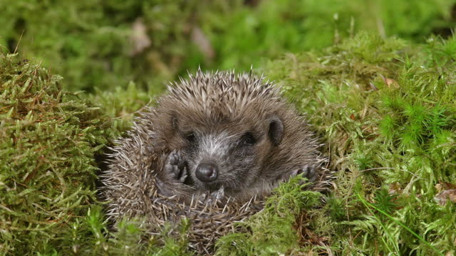 european hedgehog, erinaceus europaeus, adult curled up, normandy in france, real time - hedgehog stock videos & royalty-free footage