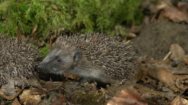 european hedgehog, erinaceus europaeus, adult on fallen leaves, normandy in france, real time - hedgehog stock videos & royalty-free footage