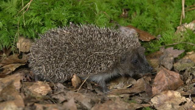european hedgehog, erinaceus europaeus, adult walking on fallen leaves, normandy in france, real time - hedgehog stock videos & royalty-free footage