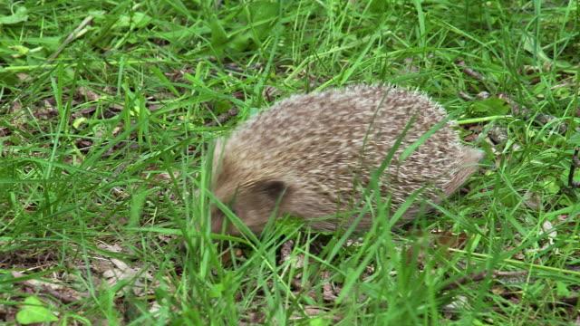 european hedgehog, erinaceus europaeus, adult walking on grass, normandy in france, real time - hedgehog stock videos & royalty-free footage