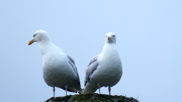 vidéos et rushes de european herring gulls (larus argentatus) on a chimney - mouette