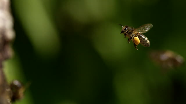 vídeos y material grabado en eventos de stock de european honey bee, apis mellifera, adult flying with note full pollen baskets, slow motion. - abeja