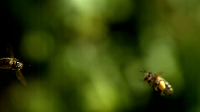 European Honey Bee, Apis mellifera, Adults flying with note full pollen baskets, Slow motion.