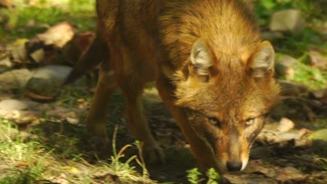 european jackal (canis aureus moreoticus) - canine stock videos & royalty-free footage