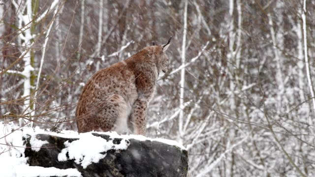 vidéos et rushes de european lynx, lynx lynx, at snowfall - lynx