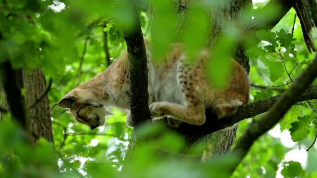 vidéos et rushes de european lynx; lynx lynx, in oak tree - lynx