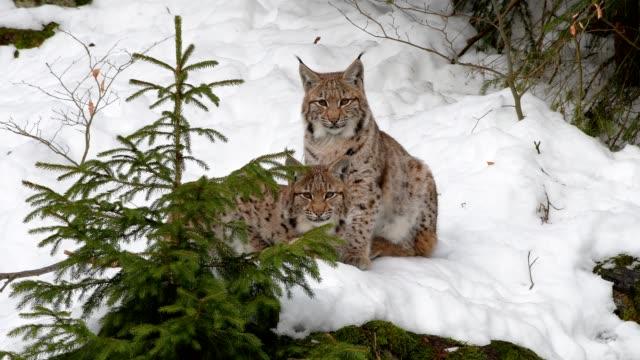 vidéos et rushes de european lynx; lynx lynx, in winter - lynx