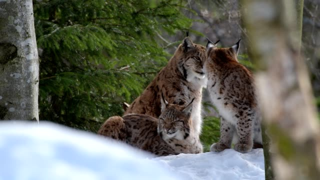 european lynx; lynx lynx, in winter - drei tiere stock-videos und b-roll-filmmaterial
