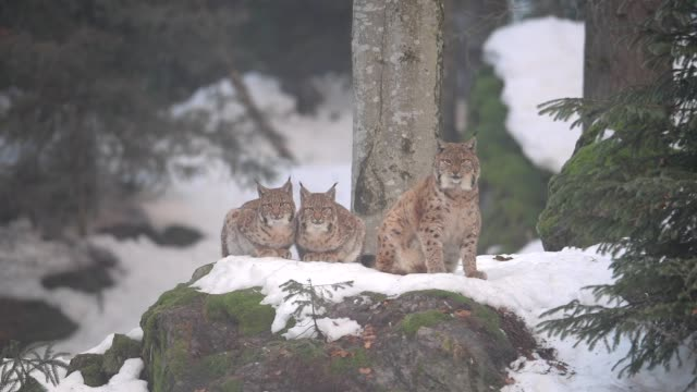 european lynx; lynx lynx, in winter - young animal stock videos & royalty-free footage