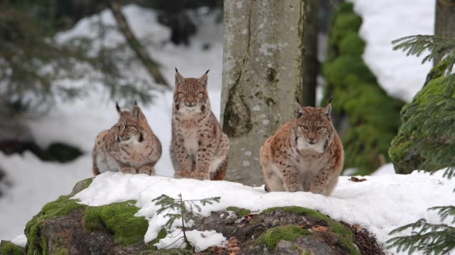 vídeos de stock, filmes e b-roll de european lynx; lynx lynx, in winter - três animais