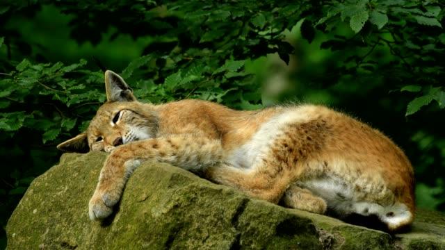 vidéos et rushes de european lynx; lynx lynx, lying on stone - lynx