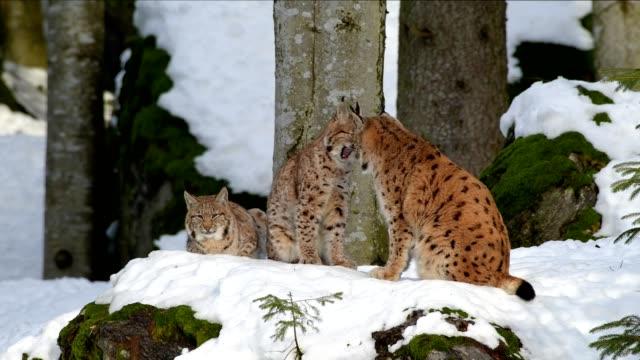 stockvideo's en b-roll-footage met european lynx; lynx lynx, mother with kitten in winter, germany, europe - watervorm