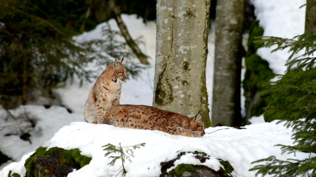 european lynx; lynx lynx, mother with kitten in winter, germany, europe - 30 sekunden oder länger stock-videos und b-roll-filmmaterial