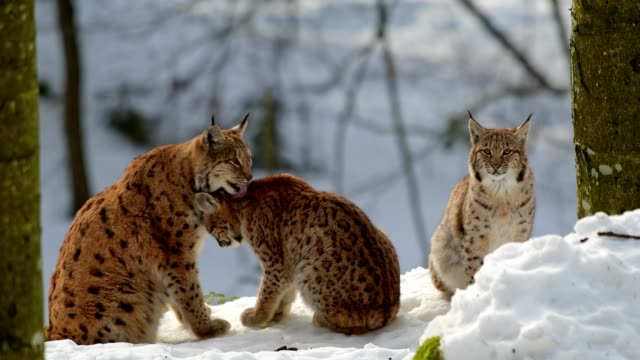 vídeos y material grabado en eventos de stock de european lynx; lynx lynx, mother with kitten in winter, germany, europe - agua helada