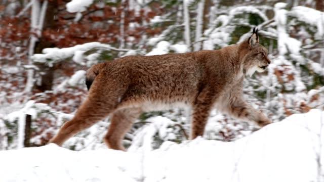 vidéos et rushes de european lynx, lynx lynx, runs through forest in winter - lynx