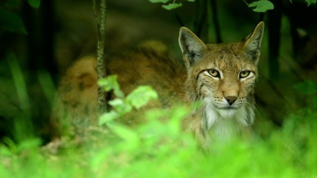 european lynx; lynx lynx - feline stock videos & royalty-free footage