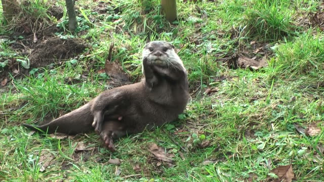 european male otter playing with a stone on grass - otter stock videos & royalty-free footage