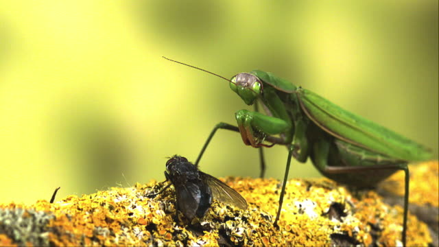 european mantid, mantis religiosa, adult catching a fly, normandy, real time - calvados stock videos and b-roll footage