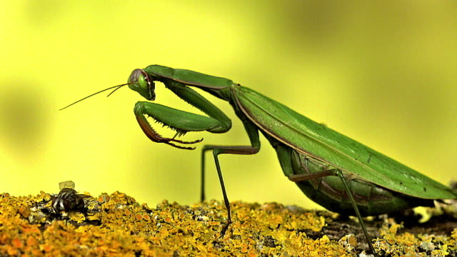 European Mantid, mantis religiosa, Adult catching a Fly , Normandy, slow motion