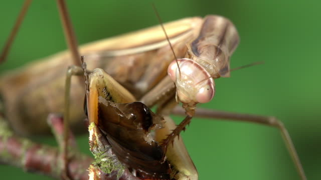 European Mantid, mantis religiosa, Adult eating a Cockroach, Normandy, Real Time