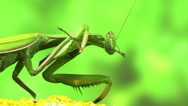 european mantid, mantis religiosa, adult grooming, normandy, real time - calvados stock videos and b-roll footage