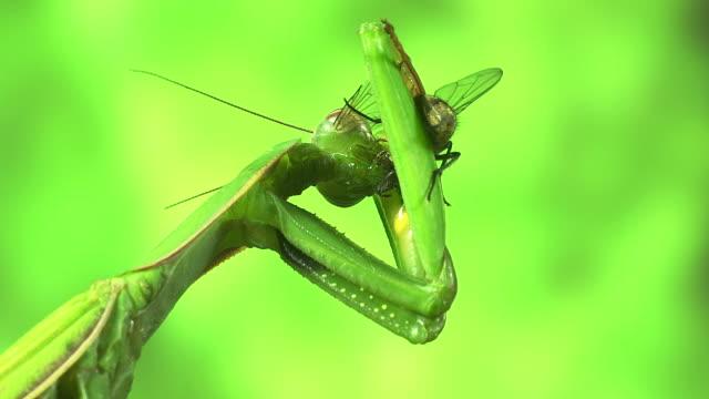 vídeos y material grabado en eventos de stock de european mantid, mantis religiosa, adult with a kill, a fly, , normandy, real time - dead animal