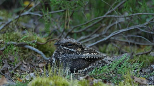 pulcini nightjar europei (caprimulgus europaeus) - nido di animale video stock e b–roll