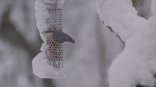 """european nuthatch (sitta europaea) feeds from bird feeder as snow falls, oxfordshire, england - """"bbc natural history"""" stock videos & royalty-free footage"""