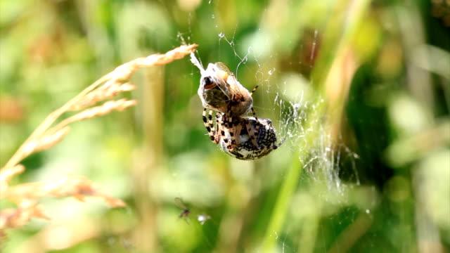 european orb web spider - arachnid stock videos and b-roll footage