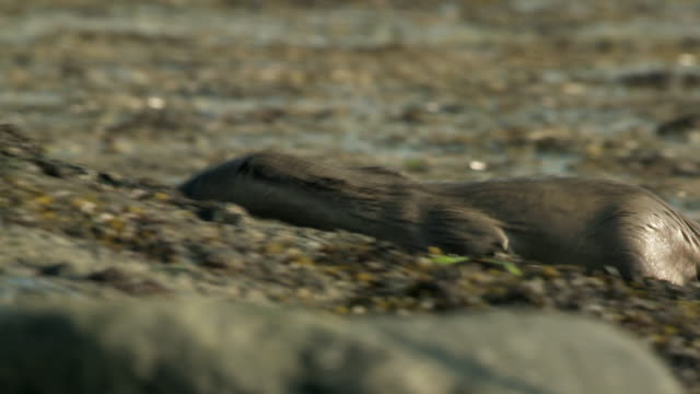 ms selective focus european otter (lutra lutra) coming out of water onto sea weedy shore / argyll, scotland - european otter stock videos & royalty-free footage