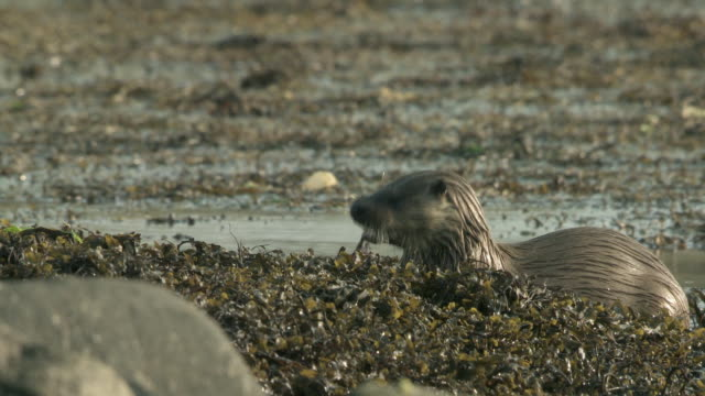 ms european otter (lutra lutra) eating fish on rocks in sea weed / argyll, scotland - european otter stock videos & royalty-free footage