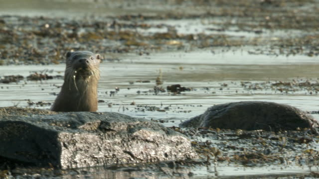 ms pan european otter (lutra lutra) in seaweed, looking wary / argyll, scotland - european otter stock videos & royalty-free footage