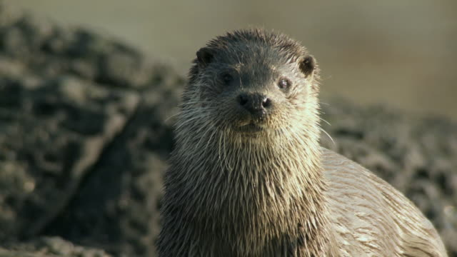 cu european otter (lutra lutra) looking at camera on rocky shore / argyll, scotland - european otter stock videos & royalty-free footage
