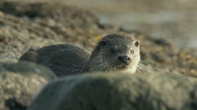 cu selective focus european otter (lutra lutra) looking at camera on rocky shore / argyll, scotland - european otter stock videos & royalty-free footage