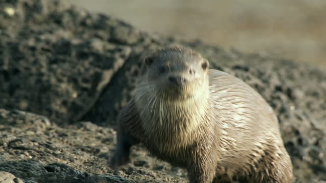 ms european otter (lutra lutra) looking at camera on rocky shore, sniffing / argyll, scotland - europäischer fischotter stock-videos und b-roll-filmmaterial