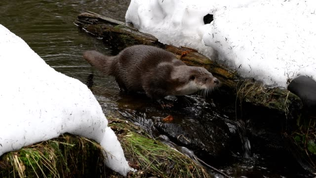 european otter, lutra lutra, bavaria, germany - european otter stock videos & royalty-free footage