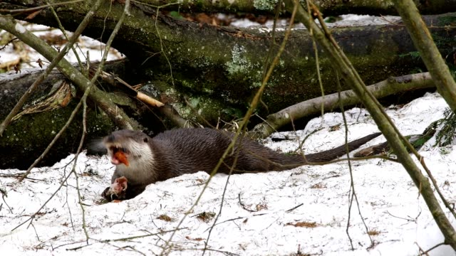 european otter, lutra lutra, eats fish, bavaria, germany - europäischer fischotter stock-videos und b-roll-filmmaterial
