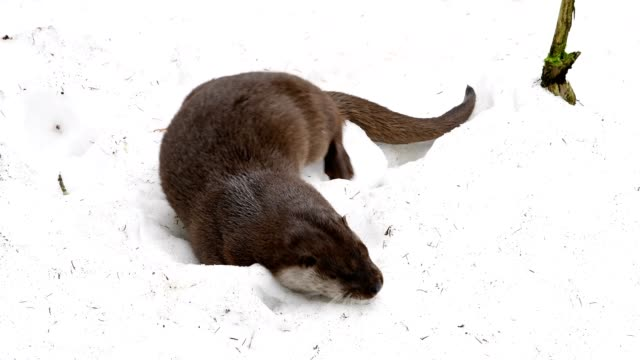 european otter, lutra lutra, in snow, bavaria, germany - europäischer fischotter stock-videos und b-roll-filmmaterial