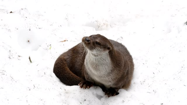 european otter, lutra lutra, in snow, bavaria, germany - 30 seconds or greater stock videos & royalty-free footage