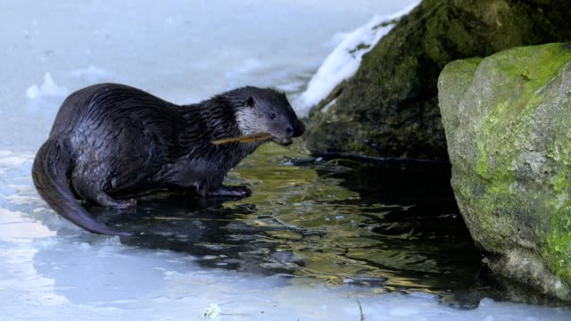 european otter, lutra lutra, in winter - europäischer fischotter stock-videos und b-roll-filmmaterial