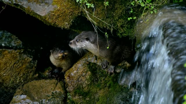 european otter, lutra lutra, on creek - european otter stock videos & royalty-free footage