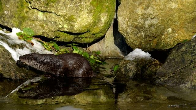 european otter, lutra lutra - european otter stock videos & royalty-free footage