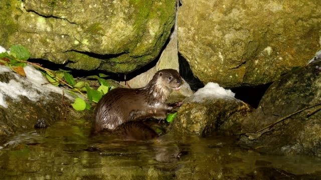 european otter, lutra lutra - european otter stock videos & royalty-free footage