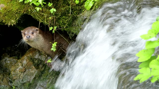 european otter, lutra lutra, with waterfall - otter stock videos & royalty-free footage