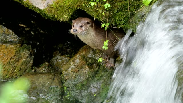 european otter, lutra lutra, with waterfall - europäischer fischotter stock-videos und b-roll-filmmaterial